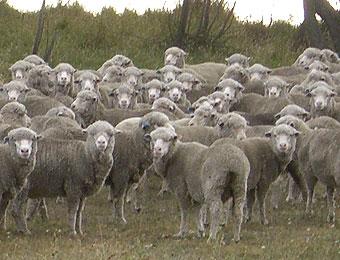 羊の大群~クロムウェル~クイーンズタウンでリュージュ