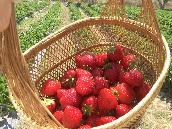 甘くておいしい☆ カオヤイいちご農園でイチゴ狩り