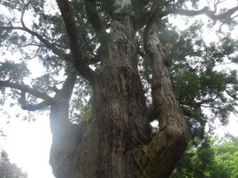 小浜観光 若狭塗り箸体験、姫神社の千年杉と彦神社