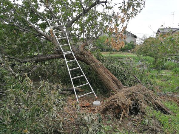 台風21号で、7mもある大木が根っこから倒れてしまった!