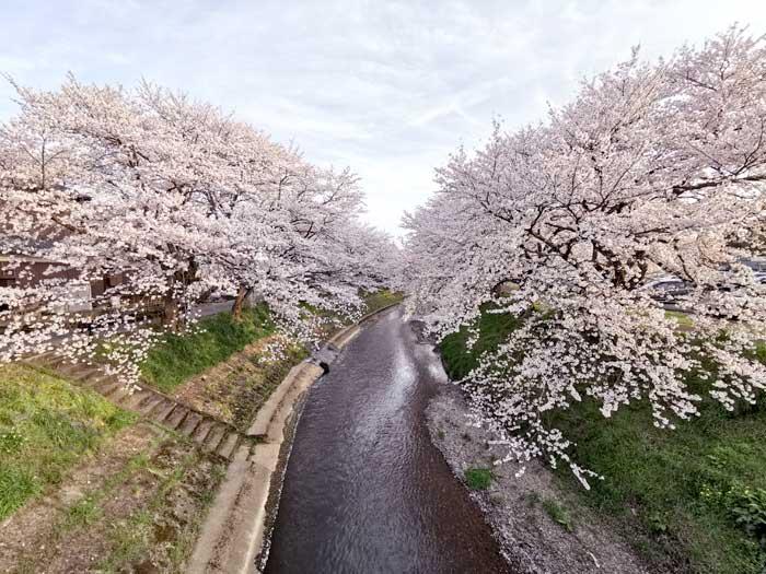 桜の花びらに埋もれたい
