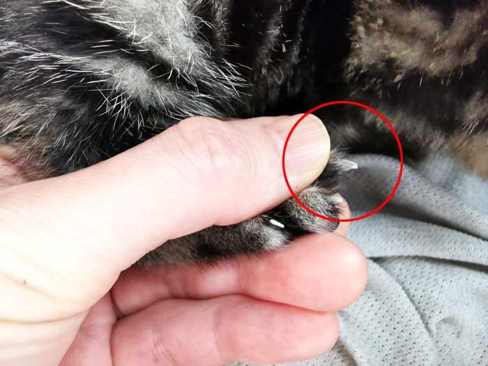 子猫の爪を切る