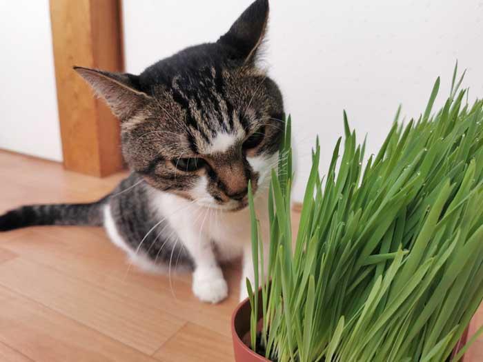 猫が大好きな猫草を種から自家栽培☆10日間で15cmまで育った記録