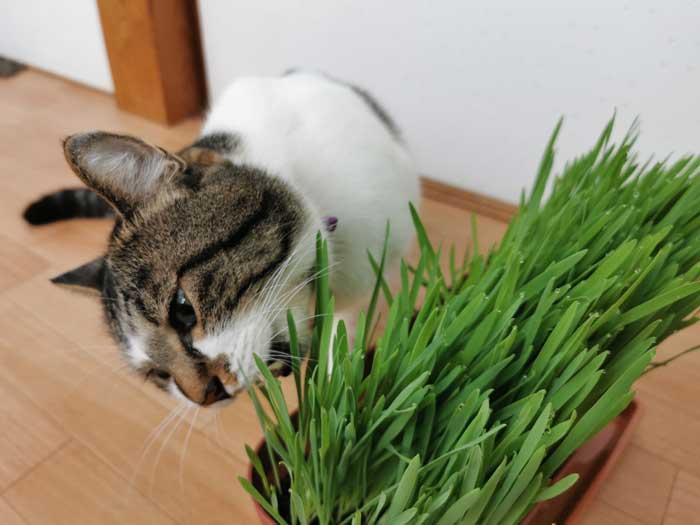 猫草を猫に与える